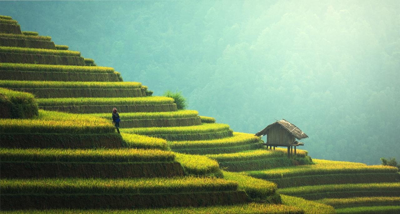 Asiens rismarker som er cannabisoliens oprindelsessted